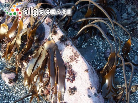 Pseudolaingia larsenii (Skottsberg) Levring
