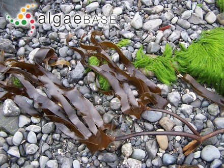 Cystoseira fucoides Ercegovic