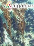 Macrocystis pyrifera (Linnaeus) C.Agardh