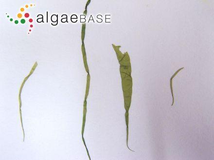 Halicoryne spicata (Kützing) Solms-Laubach