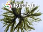 Cladophora sericea (Hudson) Kützing