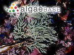 Codium fragile var. californicum (J.Agardh) De Toni & Levi