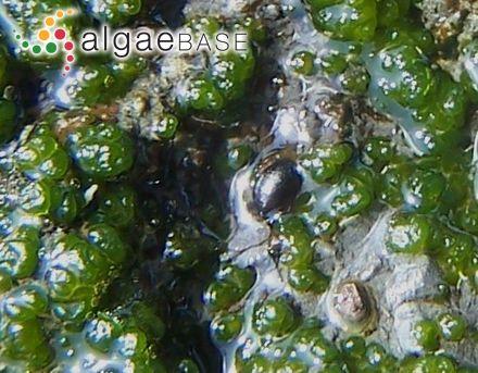 Elachista lubrica Ruprecht