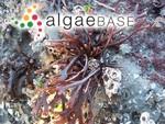 Ahnfeltiopsis linearis (C.Agardh) P.C.Silva & DeCew