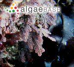 Corallina frondescens Postels & Ruprecht