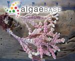 Arthrocardia tuberculosa (Postels & Ruprecht) Weber Bosse