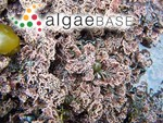 Corallina vancouveriensis Yendo