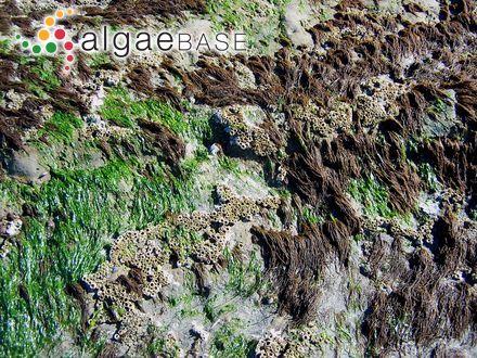 Enteromorpha clathrata var. prostrata (Le Jolis) Batters