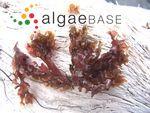 Cryptopleura lobulifera (J.Agardh) Kylin