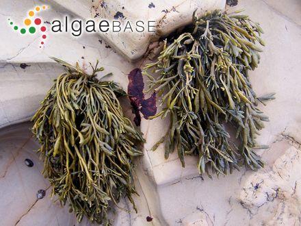 Cladophora crassicaulis P.Crouan & H.Crouan