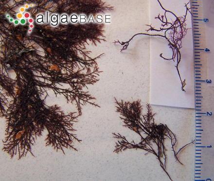 Cladophora catenatoides P.Crouan & H.Crouan