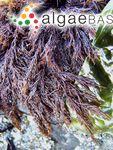 Cryptosiphonia woodii (J.Agardh) J.Agardh