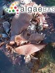 Chondracanthus exasperatus (Harvey & Bailey) Hughey