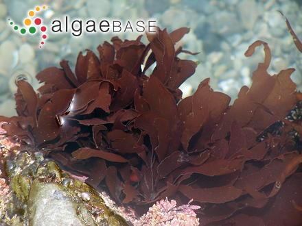 Sphacelaria irregularis Kützing