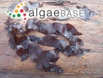 Dilsea californica (J.Agardh) Kuntze