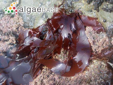 Callithamnion spongiosum Harvey