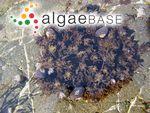 Chylocladia ovata var. subarticulata (Turner) Batters
