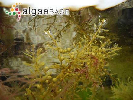 Pachymenia himantophora J.Agardh