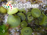 Himanthalia elongata (Linnaeus) S.F.Gray