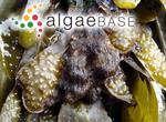 Elachista fucicola (Velley) Areschoug