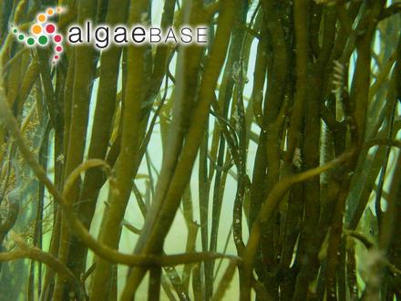 Fucus platycarpus Turner