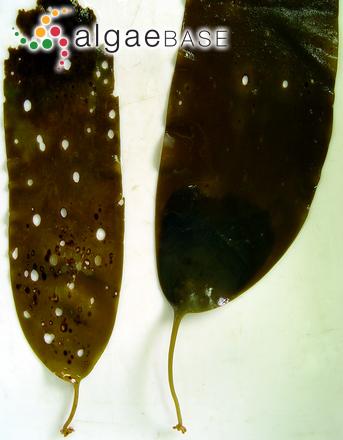 Phyllariopsis brevipes subsp. pseudopurpurascens J.L.Pérez-Cirera, J.Cremades, I.Bárbara, & M.C.López