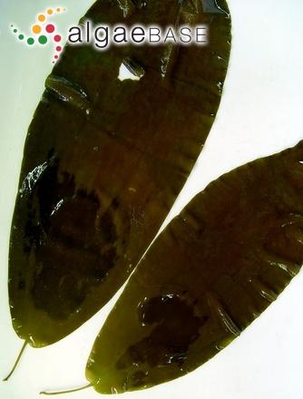 Phyllariopsis purpurascens (C.Agardh) E.C.Henry & G.R.South