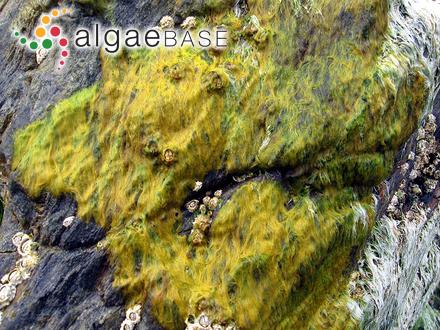 Polysiphonia ceratoclada Montagne