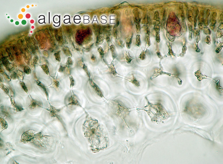 Gigartina marginifera J.Agardh