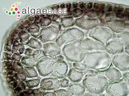 Rhodomela cloiophylla C.Agardh