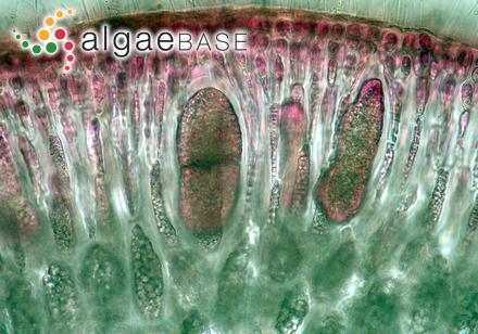 Ulva fasciata f. taeniata Setchell