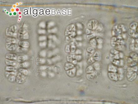 Mesogloia crassa Suringar