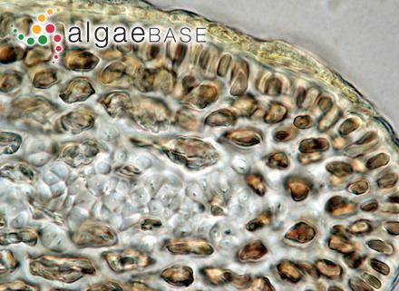 Spatoglossum cornigerum J.Agardh