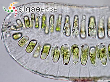 Lithothamnion conchatum f. reclinatum Foslie
