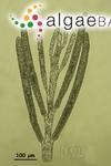 Bryopsis salvadoreana E.Y.Dawson