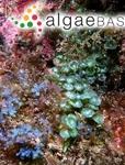 Caulerpa peltata var. nummularia (Harvey ex J.Agardh) Weber Bosse