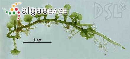 Chrysymenia polyglandulosa Okamura