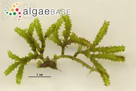 Monosporus yagii Okamura