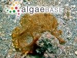 Spirulina subsalsa f. versicolor (Cohn ex Gomont) Koster