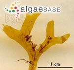Dictyopteris repens (Okamura) Børgesen