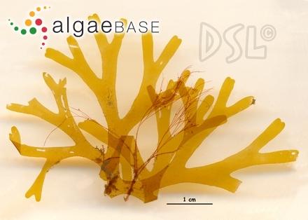 Pterosiphonia woodii var. pygmea Setchell