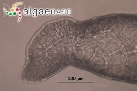 Eucheuma echinocarpum Areschoug