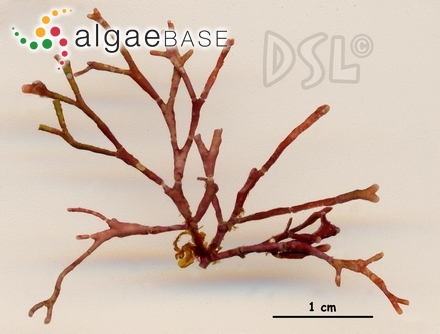 Tylotus cearensis A.B.Joly & Pinheiro