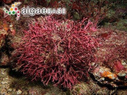 Gloioderma blomquistii Searles