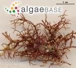 Hypnea spinella (C.Agardh) Kützing