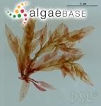 Hypoglossum attenuatum N.L.Gardner