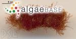 Jania capillacea Harvey