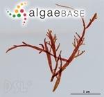Chondria platyclada W.R.Taylor