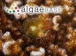 Ceramium flaccidum (Harvey ex Kützing) Ardissone