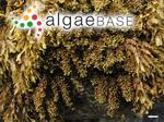 Sargassum polyphyllum J.Agardh